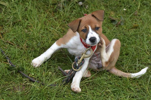 O tomilho e a aveia podem ser ótimos remédios caseiros para urticária em cachorros