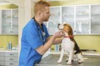 Blefarite em cães. Causas, sintomas e formas de tratamento