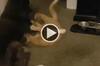 Cão e gato batalham para ver quem vai usar o brinquedo novo primeiro