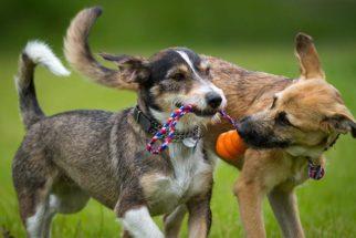 Como um cachorro descobre que outro cão é seu melhor amigo