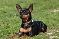 Conheça sugestões de nomes para cadelas pinscher