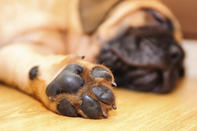 As queimaduras nos coxins dos cães geralmente acontecem quando caminham em asfalto quente