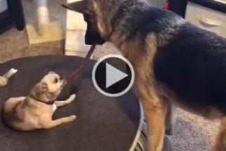 """De olho no ossinho de outro cão, pastor alemão toma atitude """"violenta"""""""