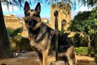 Encontrada nas ruas, cadelinha faz sucesso viajando pelo mundo