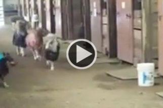 Fofura: cadelinha aposta corrida com pôneis dentro de estábulo