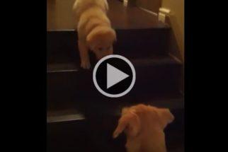 Fofura: cãozinho ensina filhote como descer escadas em segurança