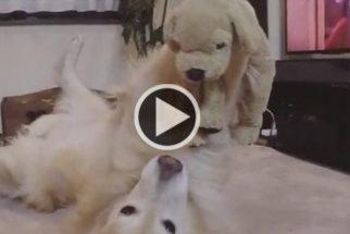 Fofura: golden retriever se diverte com cãozinho de pelúcia