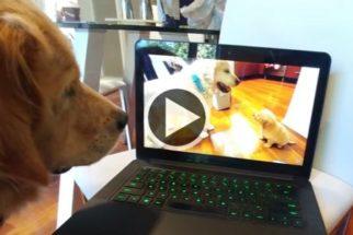 Golden retriever tem reação fofa ao ver vídeo de quando era um filhote