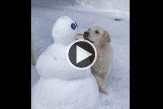 'Ladrazinea': golden retriever rouba cenoura de boneco de neve