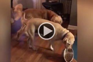 Para rir: cãozinho comilão se recusa a dividir sua comida