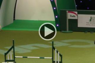 Completamente confuso, cãozinho se atrapalha durante prova de agility