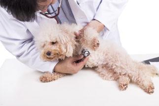 Parada cardíaca em cães. Sintomas, causas e tratamentos