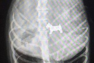 Raio-x mostra que cãozinho engoliu um outro cachorro