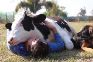 12 provas de que vacas são como cãezinhos gigantes
