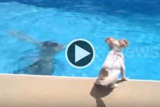 Ao ver tutor no fundo da piscina, cadela pula para salvá-lo