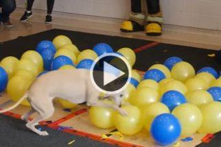 Cãozinho quebra recorde e explode 100 balões em alguns segundos