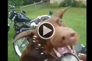 Cãozinho torna tarefa de tutor lavar motocicleta quase impossível