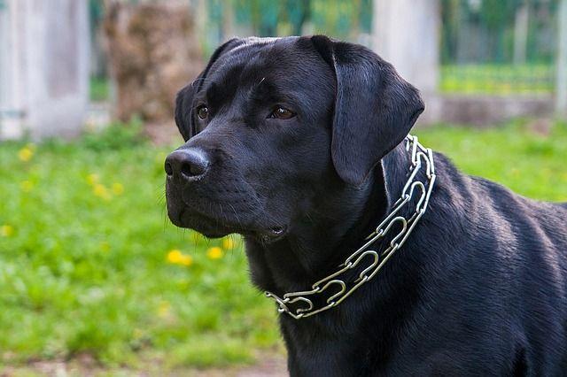 Descubra quais as raças de cães que são a melhor companhia para uma viagem com o pet