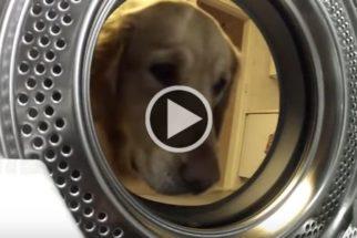 Golden retriever 'resgata' seu urso de pelúcia de máquina de lavar