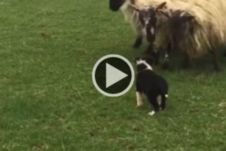 Fofura: vídeo mostra primeiro dia de filhotes como cães pastores