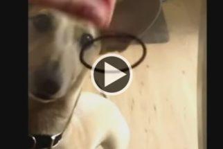 Hilário: vídeo mostra cães confusos com tampo de mesa de vidro