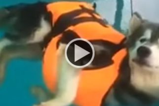 Para rir: Demonstrando pouca disposição, husky boia em aula de natação