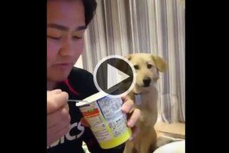 Para rir: cãozinho fica de olho em comida de tutor e tenta fingir o contrário