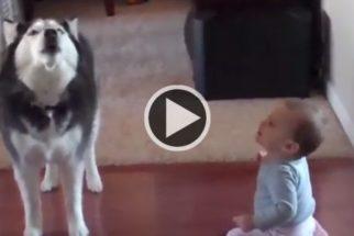 Para rir: husky imita quase perfeitamente balbucios de bebê