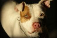 Pit bull: características e curiosidades da raça