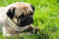 Por influência humana, pugs sofreram modificações