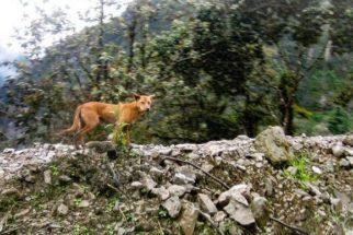 Possível elo entre cães e lobos é redescoberto vivendo selvagemente
