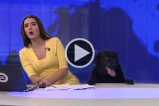 Cãozinho faz aparição surpresa em estúdio de telejornal russo