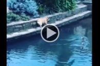 Cãozinho tenta fazer amizade com patos e acaba caindo em lago