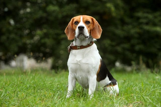 Descubra quais raças de cães não se adaptam bem em apartamentos - Beagle