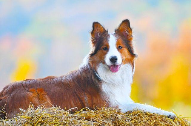 Descubra quais raças de cães não se adaptam bem em apartamentos - Collie