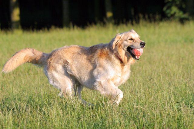 Descubra quais raças de cães não se adaptam bem em apartamentos - Golden