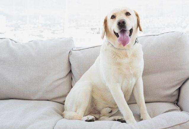 Descubra quais raças de cães não se adaptam bem em apartamentos - Labrador