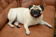 Descubra quais raças de cães não se adaptam bem em apartamentos