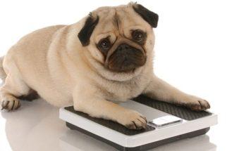 Dúvidas sobre a obesidade em cães? Especialista esclarece
