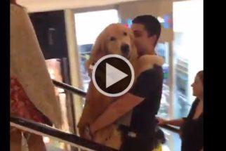 Fofura: golden retriever acha que é filhote e sobe escadas no braço de tutor