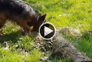 Hilário: pastor alemão encontra o 'maior galho' que já viu