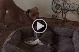 Para rir: cadela tem cama roubada por gato idoso e falha em recuperá-la
