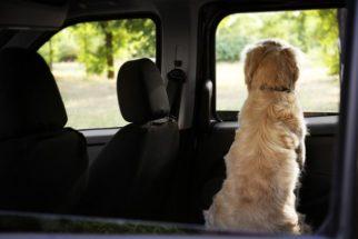 Veja por que não deixar seu cãozinho dentro do carro. Acompanhe as fotos