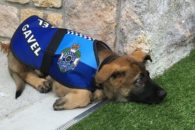 Dispensado da escola policial por ser amigável, cão encontra novo emprego