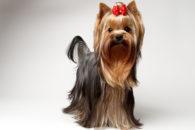 Como lidar com o cio de uma cadelinha em casa