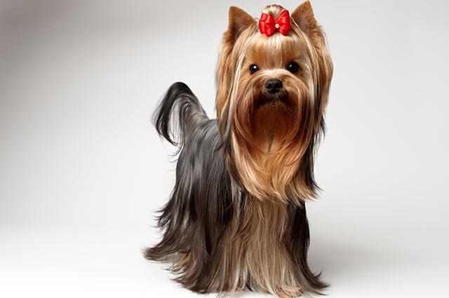 Para saber como lidar com o cio de uma cadelinha em casa vale buscar auxílio de um profissional