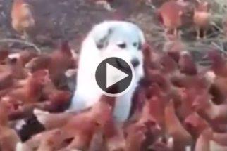 Cadelinha ama o seu trabalho de proteger galinhas em fazenda