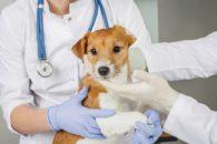 Cães também podem ter gripe. Veja como prevenir e tratar a doença