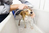 Como dar um banho seguro no cachorro? Veterinária ensina