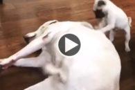 Filhote de pug faz massagem nas costas de labrador grandalhão